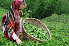 çay turu, çay gezisi, çay turları